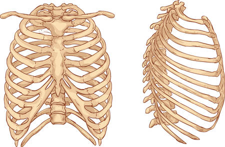 esqueleto: fondo blanco ilustración vectorial de una ilustración de la caja torácica