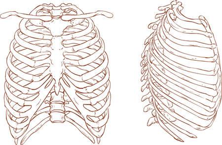 胸郭の図の白い背景ベクトル イラスト  イラスト・ベクター素材