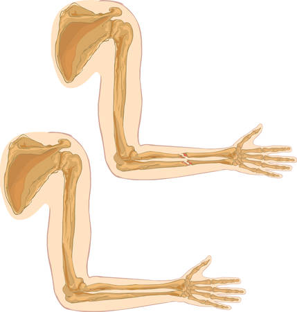 forearm: white background vector illustration of a humerus Illustration