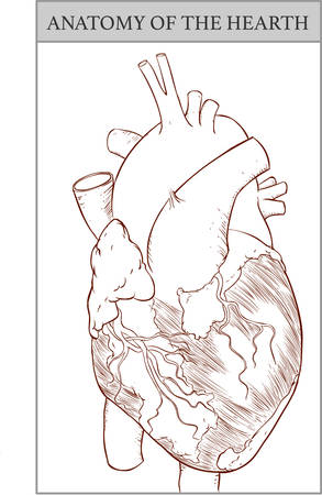 ventricle: vector Illustration of  a  Human Hearth Anatomy Illustration