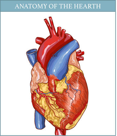 myocardium: vector Illustration of  a  Human Hearth Anatomy Illustration