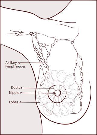 vector illustration of a woman anatomy Vector Illustration
