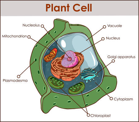 Plant cell isolated on white photo-realistic vector illustration. Illustration