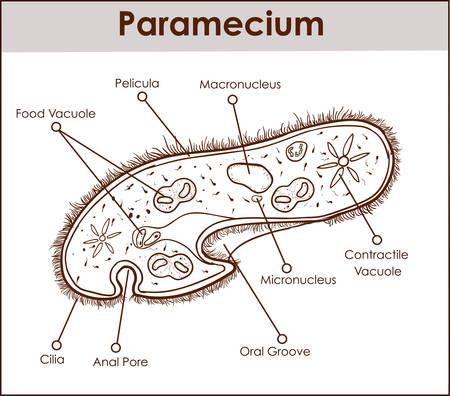 The structure of Paramecium saudatum