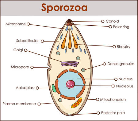 vector illustration of a sporozoa Illustration