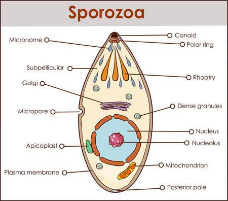 vector illustration of a sporozoa 向量圖像