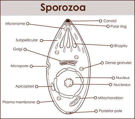 Vector illustration of a sporozoa with diagram on white background. 向量圖像