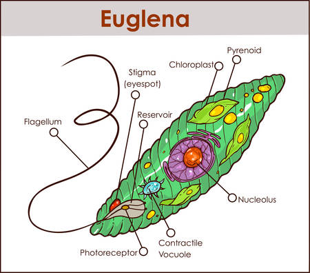 A colored Vector illustration of  Euglena Cross Section Diagram representative protists euglenoid plant like and animal like microscopic creature with all cell parts nucleus flagellum eyespot basal body pellicle mitochondrion Illustration