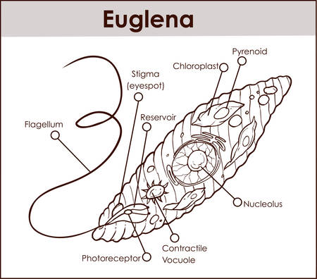 An outline Vector illustration of Euglena Cross Section Diagram representative protists euglenoid plant like and animal like microscopic creature with all cell parts nucleus flagellum eyespot basal body pellicle mitochondrion Stock Vector - 94668488