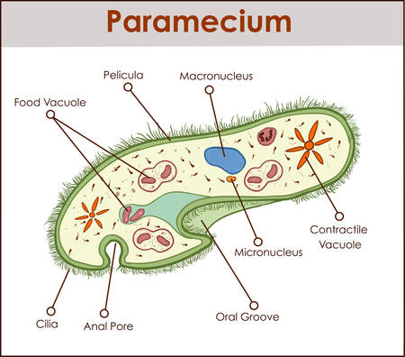 The structure of paramecium saudatum.