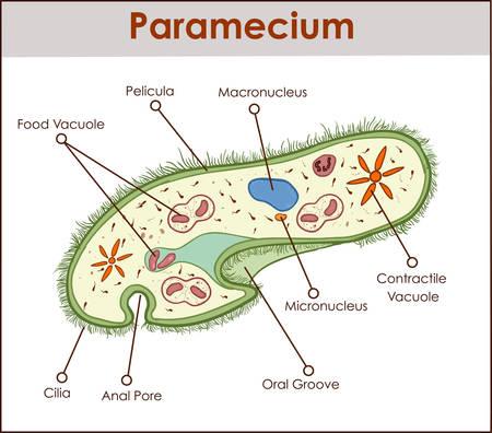 The structure of paramecium saudatum.