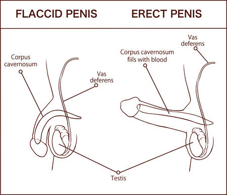 Erection of male organ penis, medical illustration with man anatomy reproductive