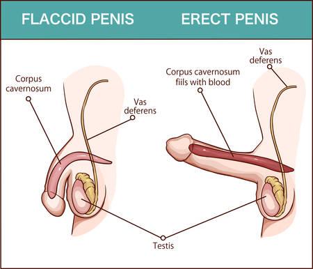 Erección del pene del órgano masculino, ilustración médica con anatomía reproductiva del hombre