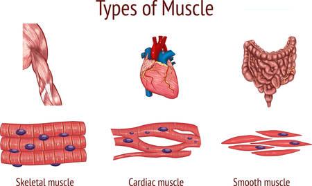 illustrazione vettoriale di un tipi di muscoli