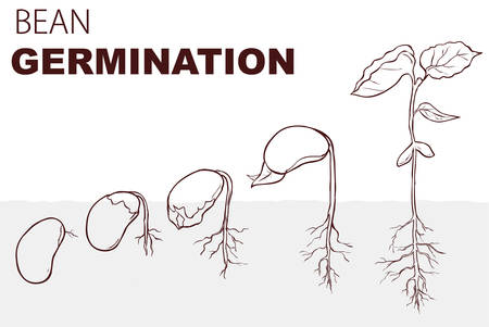 vector illustration Seed germination beans Stok Fotoğraf - 127996501