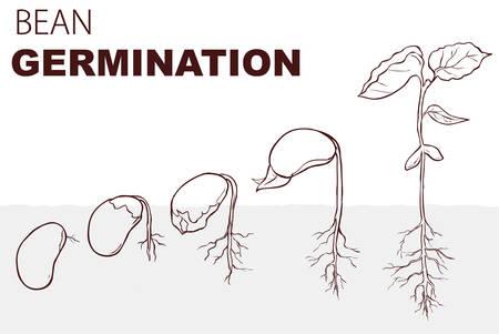 Vektor-Illustration Samenkeimung Bohnen