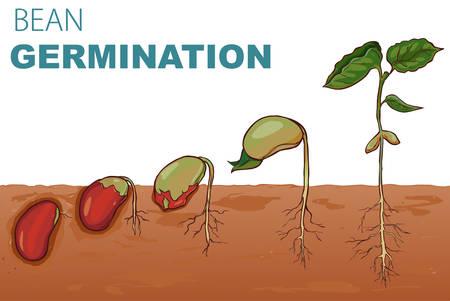 Ilustración vectorial Frijoles de germinación de semillas