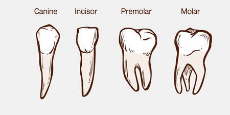Types of human teeth vector illustration