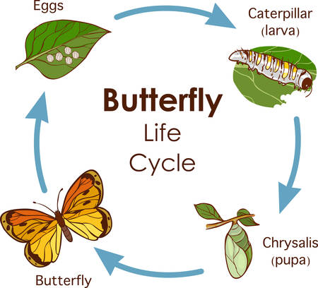 vector illustration of Life Cycle of Butterfly diagram