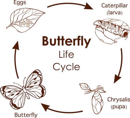vectorillustratie van levenscyclus van vlinderdiagram Vector Illustratie