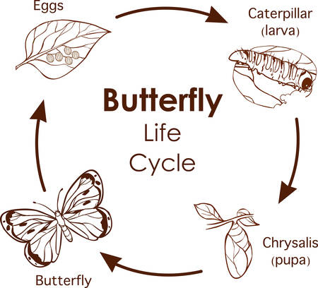 Vektor-Illustration des Lebenszyklus des Schmetterlingsdiagramms Vektorgrafik