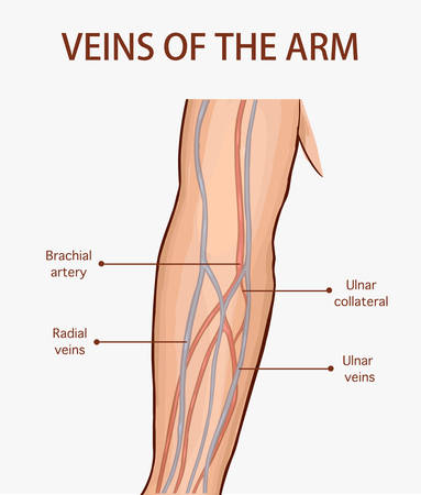Vector illustration of a veins of the arm