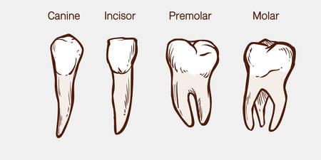 Types of human teeth vector illustration Ilustração