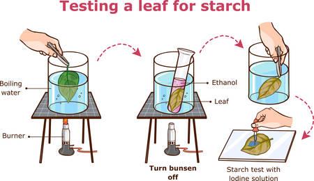 Testing a leaf for starch vector illustration Vektorgrafik