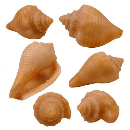 beachcombing: Various views of the Florida Cone Seashell on white background Stock Photo