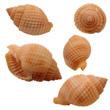 reticulata: Various views of the Nutmeg Seashell on white background