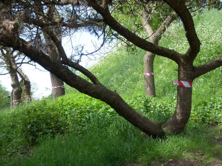 Trees marked with barrier tape Stock Photo - 18024061