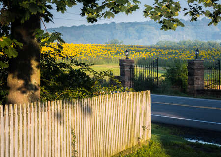 A field of sunflowers across a road, bordered by an old fence and a large tree with an old gate and shadows