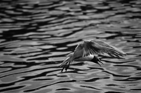 swooping: Seagull Swooping - Black And White