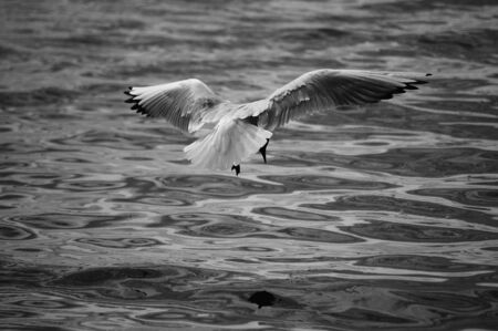 poised: Seagull Poised For Attack