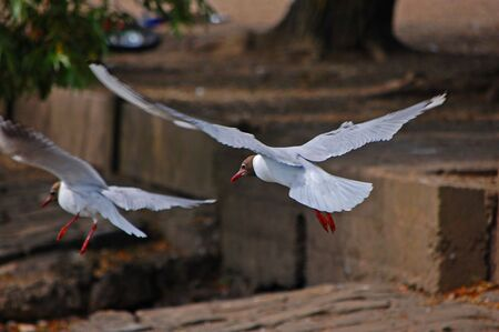 swooping: Gulls In Flight Stock Photo