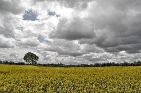Tree,clouds and rapeseed photo