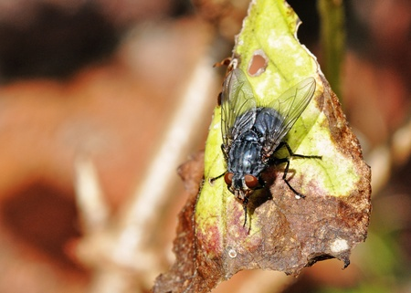 housefly: Housefly on leaf Stock Photo