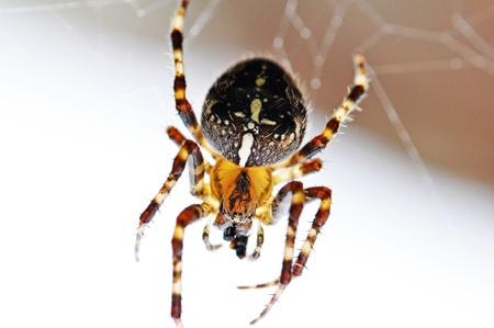 arachnophobia: Garden Spider Stock Photo