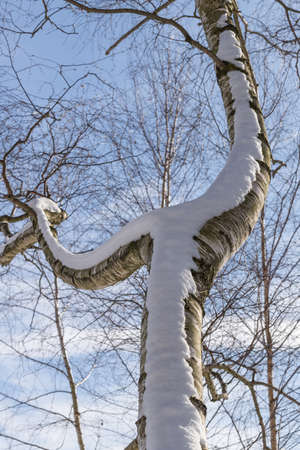 Part of a birch tree with snowy branches and blue sky Standard-Bild