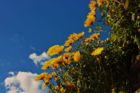 Bunch of yellow daisies on against blue skybackground with cloud Banque d'images