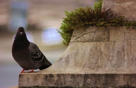 Gros plan d'un pigeon sur un socle en pierre avec une touffe d'herbe Banque d'images - 17123348