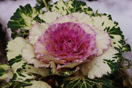 Cabbage in a garden