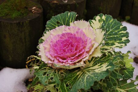 cabbage outside in the snow