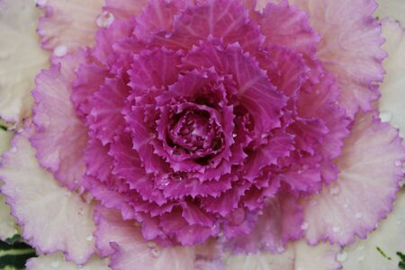 Closeup of cabbage with drops of water