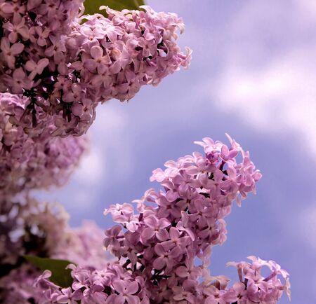 close up of purple lilac Banque d'images