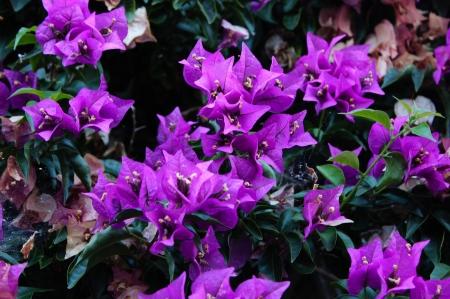 Fleur de mur fuchsia dans le Sud Banque d'images - 24695992