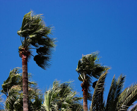 Palm trees in the wind Banque d'images