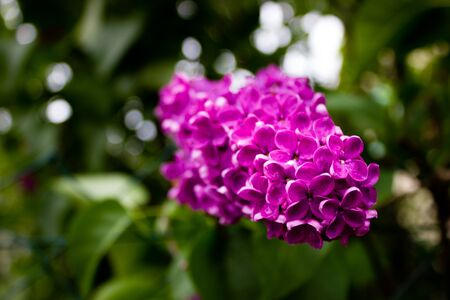 a branch of lilac purple
