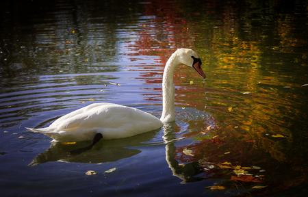 Cygne dans un lac en été Banque d'images - 77210939