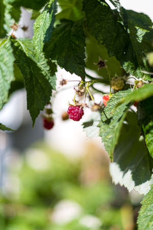 Close up view of a ripe red raspberry hanging from a green leafy vine 免版税图像